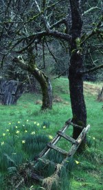 Orchard trees surrounded by yellow flowers with an old ladder