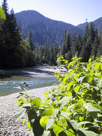Bohemian Knotweed on the Nooksack River