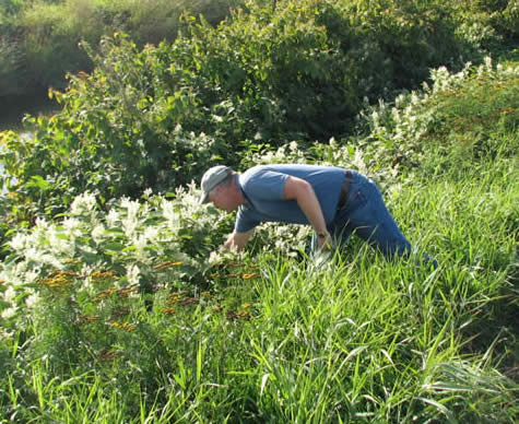 Finding Knotweed in Field
