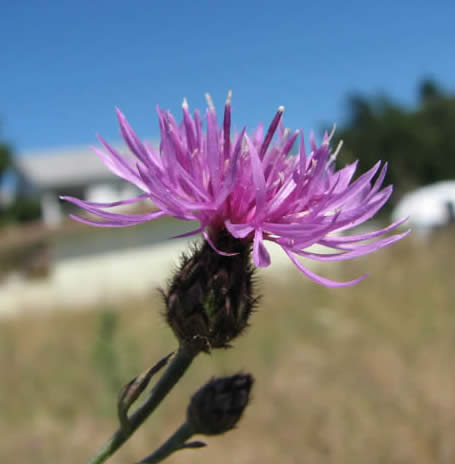 Spotted Knapweed Flower