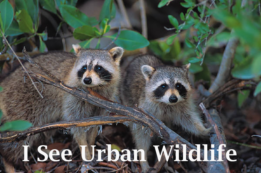 I see urban wildlife