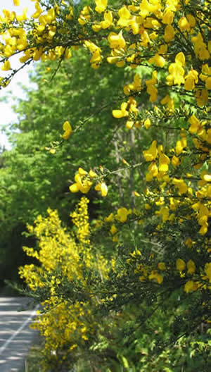 Scotch Broom in Full Bloom
