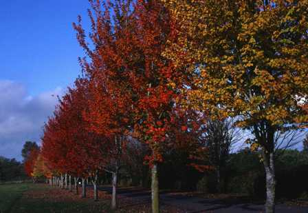 A row of red and yellow trees with a trail in the middle